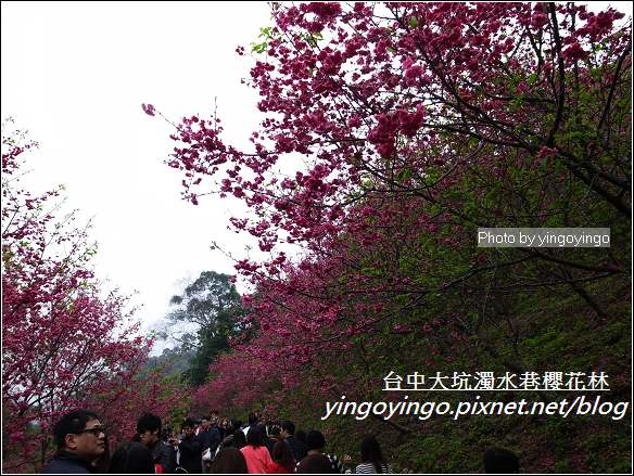 台中市北屯_大坑濁水巷櫻花林20120225_R0059946