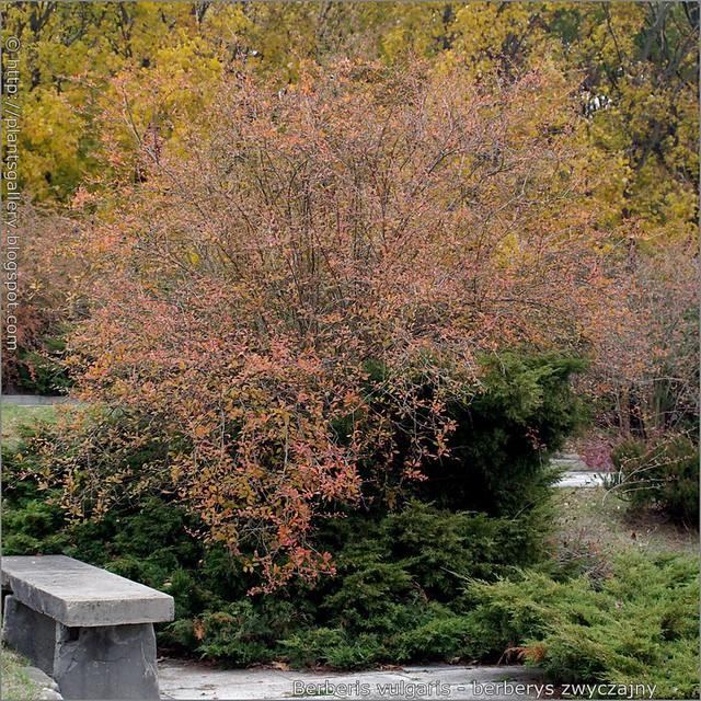 IMGP8147 Berberis vulgaris - berberys zwyczajny pokrój