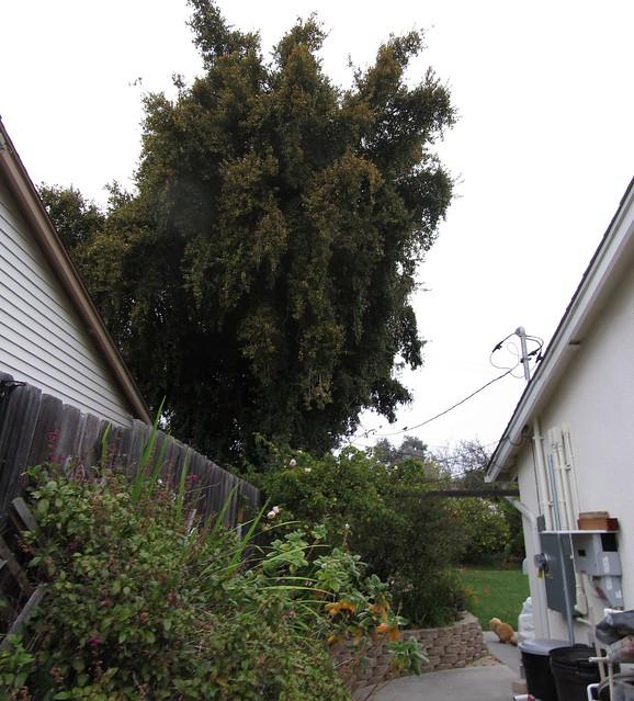 IMG_0363_3 120225 dressler eugenia australian cherry trees before thinning ICE rm stitch99