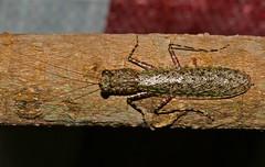 Humbertiella ocularis (Liturgusidae)