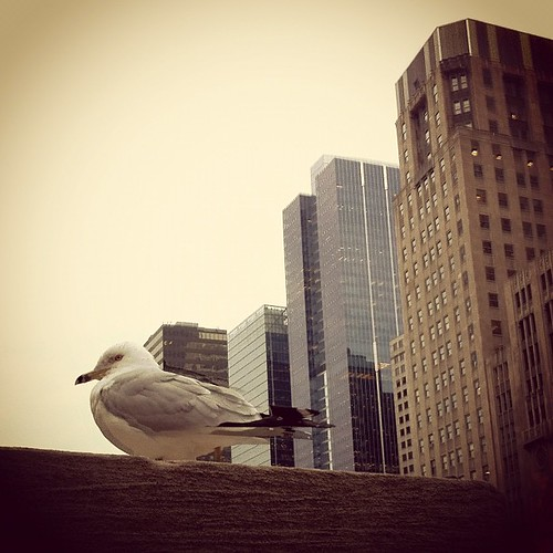 Seagull in Chicago (the commuter life) by The Shutterbug Eye™
