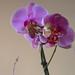 2012-03 orkideak-24