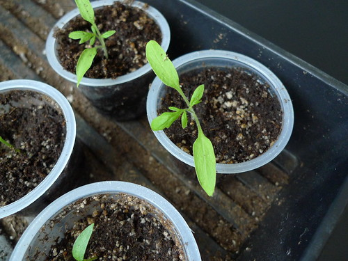 belize pink heart tomato seedlings