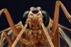 Macros d'insectes,Studio,Stackings