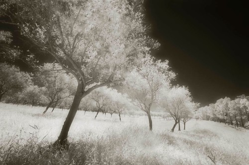 Infrared Olive Grove