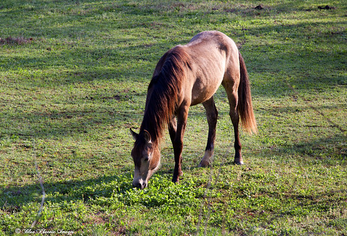 Chestnut Mare in Clover