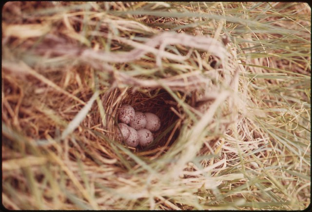 DOCUMERICA: Nest in prairie grasses on a ranch in the Powder River Basin, 06/1973 by Boyd Norton.