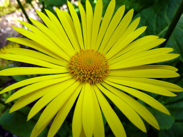 Yellow flower | Flickr - Photo Sharing!