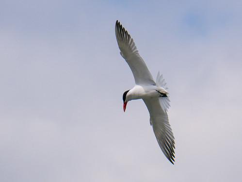Hunting Terns