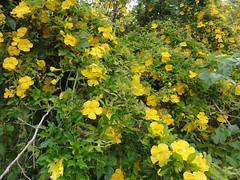food(0.0), hypericum(0.0), shrub(1.0), flower(1.0), yellow(1.0), plant(1.0), subshrub(1.0), produce(1.0), common tormentil(1.0),