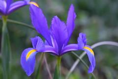 02730 Iris reticulata.....