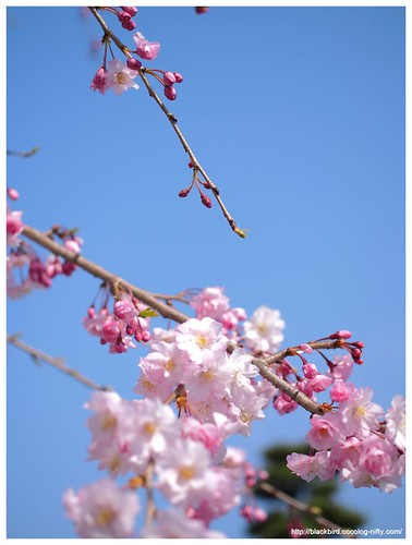 Cherry blossoms 20140408 #06
