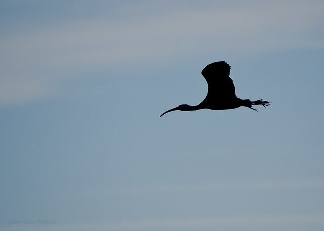 Glossy Ibis / Morito Común (Plegadis falcinellus)