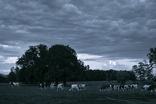 Cows going to pasture