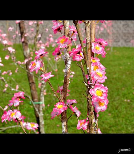 indonesia spring blossom westkalimantan singkawang nikond7000 yemaria