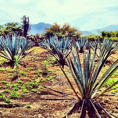 arecales(0.0), agriculture(0.0), flower(0.0), grass(0.0), prairie(1.0), soil(1.0), tree(1.0), plant(1.0), flora(1.0), agave azul(1.0),