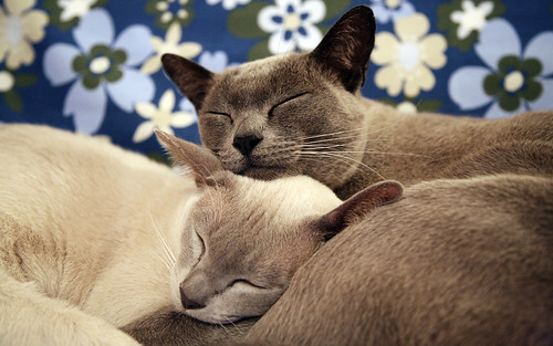 Burmese cat love