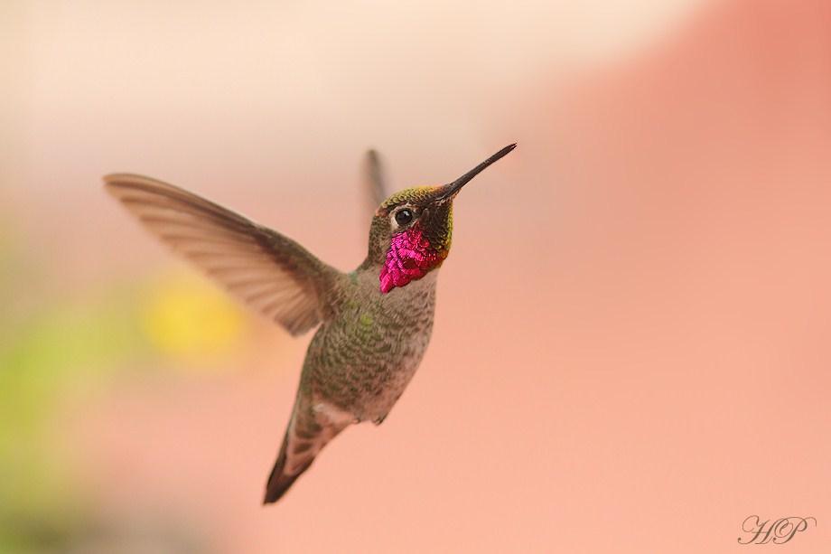 Anna's Hummingbird 020812-2