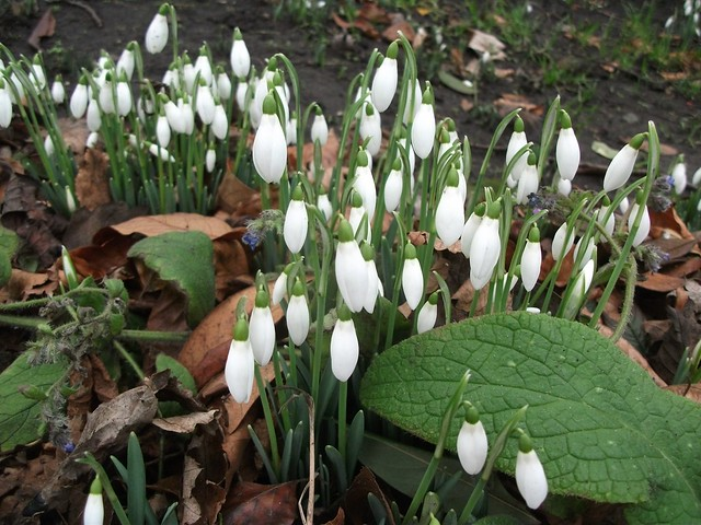 Snowdrops in the New Town