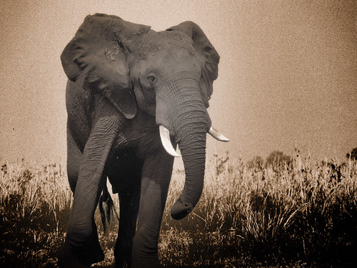 Maestoso elefante