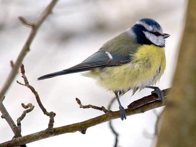 Blue Tit  - Amsterdam Water Supply Dunes