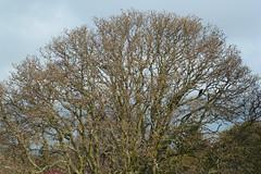 The Old Oak Tree by Neil Brock