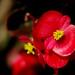 Begonia sp. (Begoniaceae)