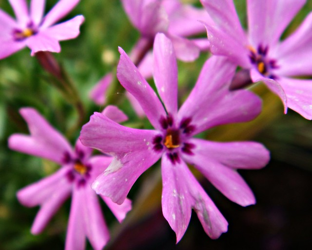 Pink Flowers In The Garden Denton Texas By