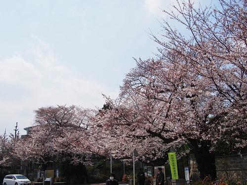 桜 2012 田園調布