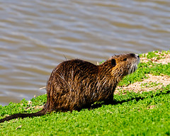 animal, grass, rodent, nature, mustelidae, fauna, muskrat, marmot, whiskers, wildlife,