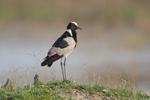 Blacksmith Lapwing - Adult