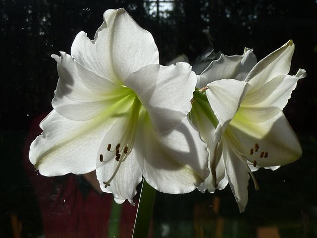How to grow Amaryllis - White Flower Farm