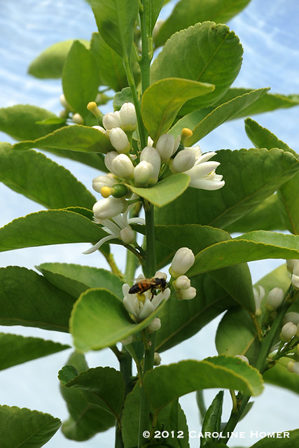 Bee on lime tree