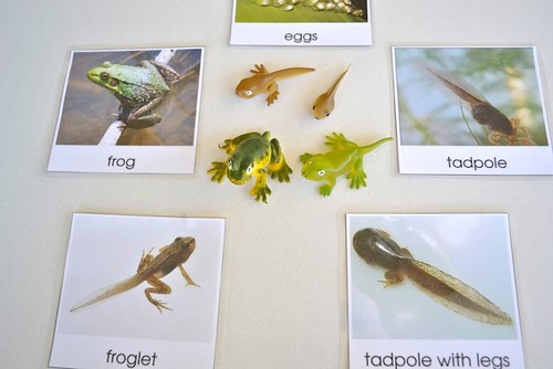 Life Cycle of a Frog (Photo from How We Montessori)