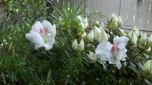Favorite flowering shrub