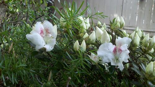 Favorite flowering shrub