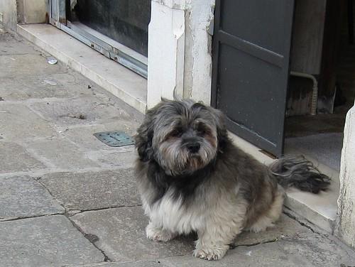 Venetian dog