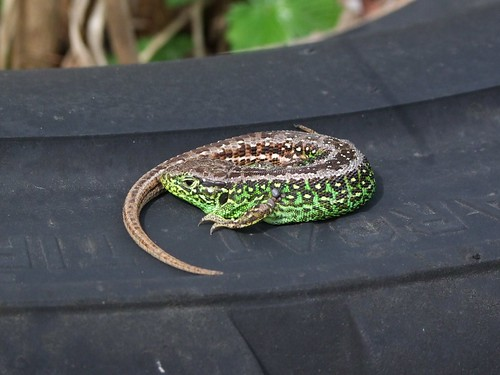 Sand Lizard by Linda Yarrow