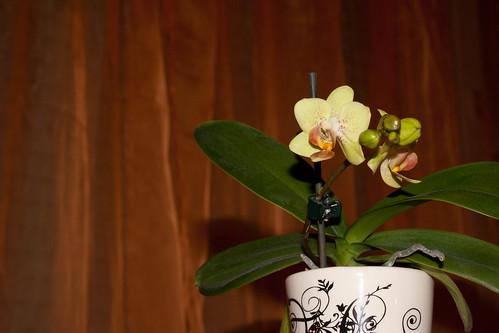 orchid in orange