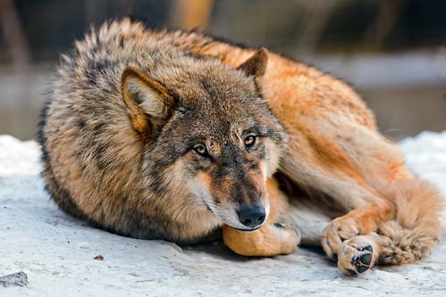 無料写真素材, 動物 , 狼・オオカミ
