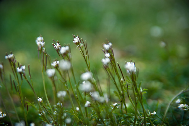 061 white weeds
