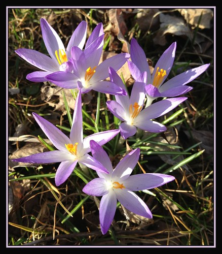 flowers nature spring seasons crocus rebirth mothernature supershot comingfullcircle