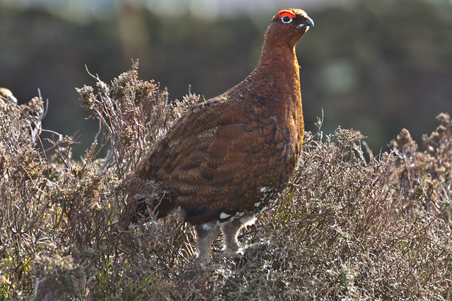 Grouse DallowGill Moor