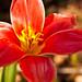 Tulpe 106
