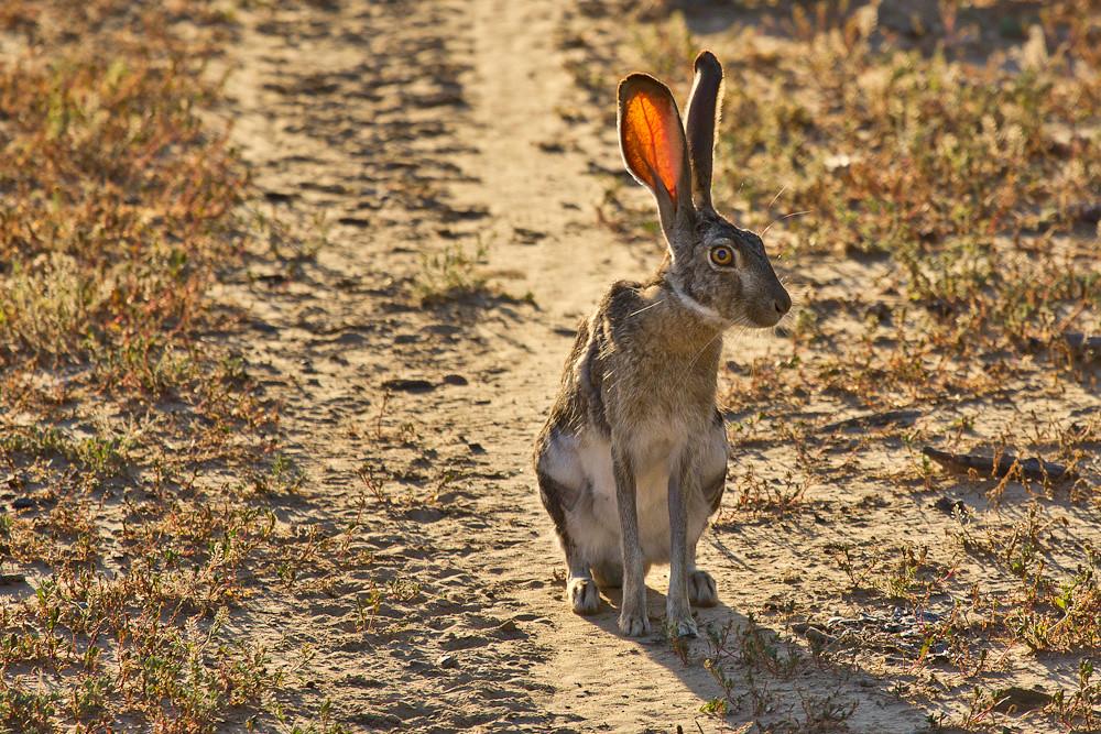 South Texas Jack Rabbit