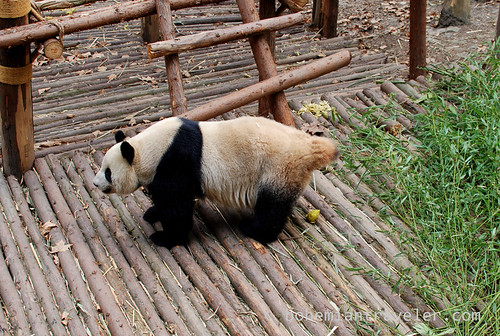 Pandas in Chengdu China 2