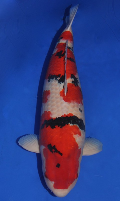 Grand Champion Interkoi 2012 - Jean Hoorne