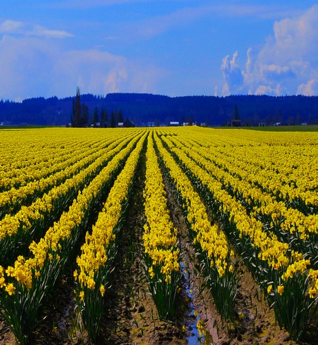 flower field northwest farm row farmland daffodil bloom blooming yellowish wastington mygearandme mygearandmepremium mygearandmebronze mygearandmesilver mygearandmegold mygearandmeplatinum mygearandmediamond