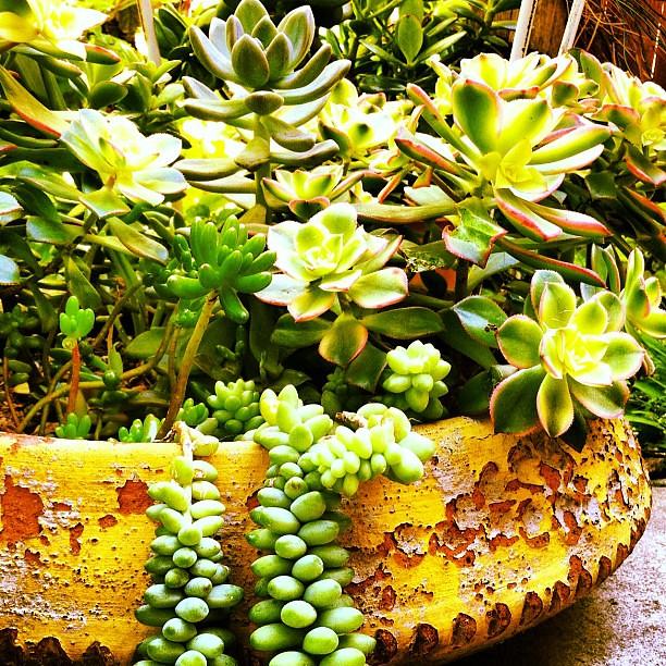 Succulent Garden succulent garden flowers california