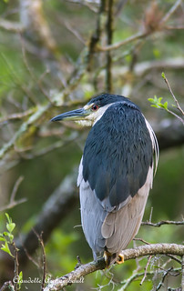 Bihoreau Gris, Black-crowned Night-Heron